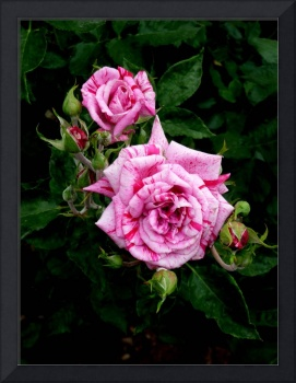 2 Variegated Roses with 6 Buds