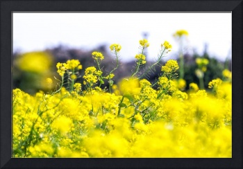 Jeju Canola Flower Field