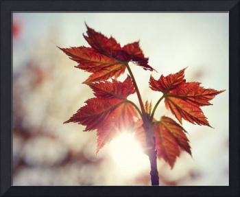 red maple leaves {8x10}