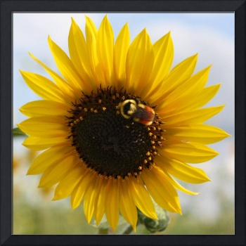 Bumblebee on Full Sunflower
