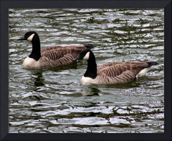 Canada Geese 8x10