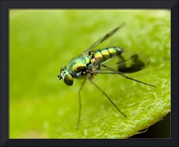 Mosca  - Long legged fly