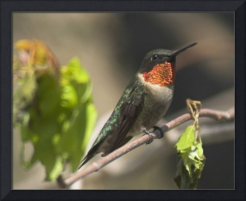 Ruby-throated hummingbird --A Rare Moment