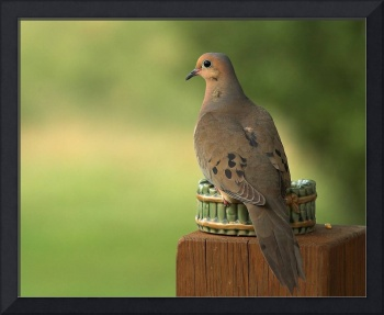 Mourning Dove--Enjoying the View