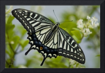 Gliding Butterfly