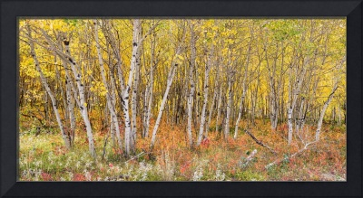 Colorful_Aspen_Tree_Forest_Floor_Panorama_Views