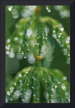 Close up Horsetail With Dew Drops Dawn Southcentra