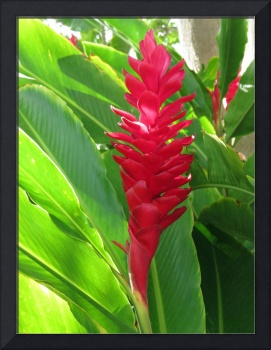 Hawaiian Ginger