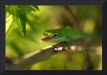 North American Anole Lizard