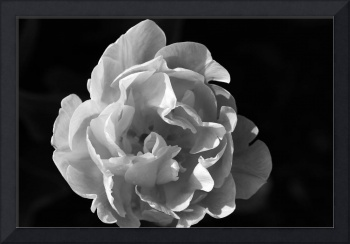Peony-Tulip Black and White