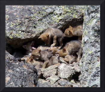 coyote puppies in their den