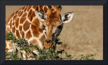 Giraffe Nibbling On Greens