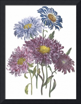 Aster Flowers by Jane Webb Loudon