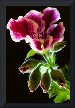 Geranium Flower and Buds