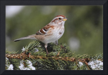 American Tree Sparrow Photograph