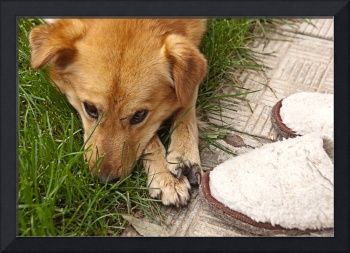 Dog sad about Slippers