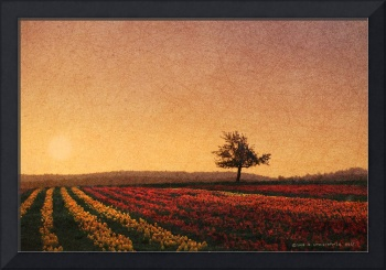 lone tree sunset on the tulip fields