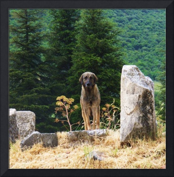 Turkish Kangal Dog in Ephesus, Turkey