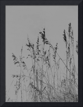Sea Oats in Black and White