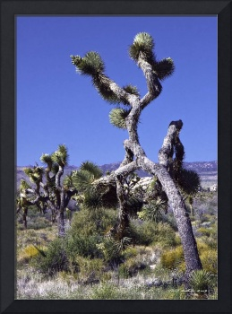 Joshua Trees on the March