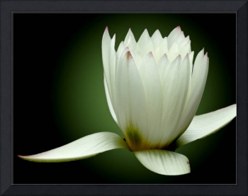 White Water Lily So Pure