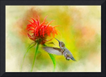 Anna's Hummingbird and Red Bee Balm