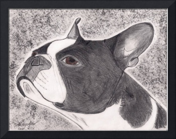 Boston Terrier fine art drawing.