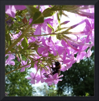 Phlox and guest