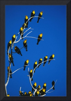 Yellow-headed blackbirds perching on bare tree br