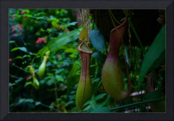 Nepenthes I