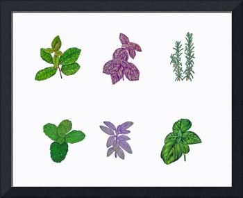 Herb series in watercolor