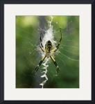 Black and Yellow Argiope Img 0829 by Jacque Alameddine