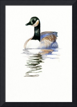 Duck with Black Neck Swimming