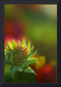 Blanket Flower Bud