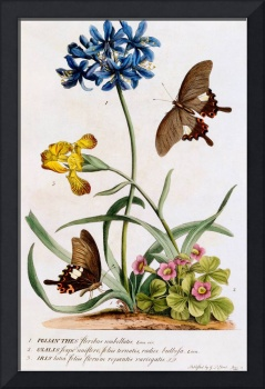 Polianthes, Oxalis and Iris, 1749 (hand-coloured e