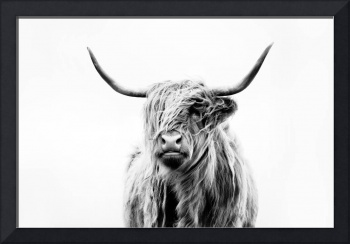 portrait of a highland cow