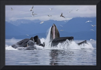 Humpback Whales Bubble Net Feeding For Herring In