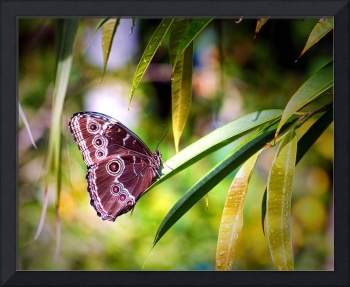 Blue Morpho Butterfly in St. Thomas