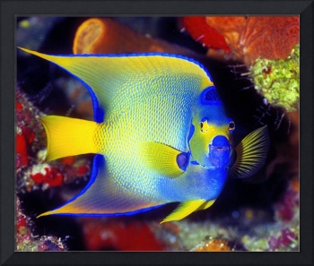 Queen Angelfish Cay01009V