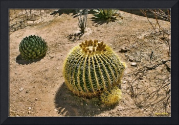 Gold Barrel Cactus