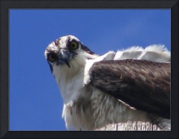Osprey - here's looking at you kid!