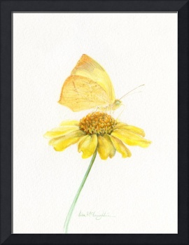 Mexican Yellow butterfly on brittlebush flower