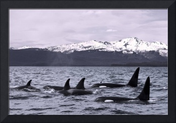 Orca Whales surface in Lynn Canal with Chilkat Mou