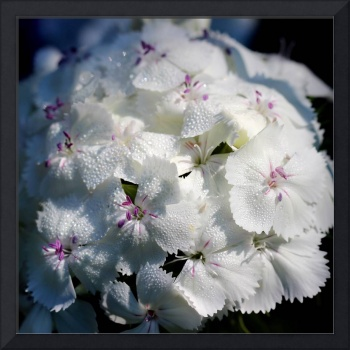White Sweet William Flower Square 2016