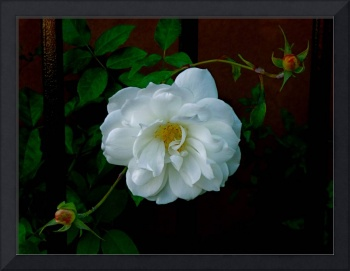 White Rose With Serpentine Buds
