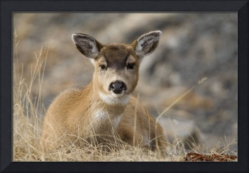 Close up of a Sitka Black tailed doe bedded down d