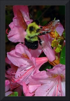 Pink Rhododendron with Bee