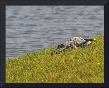 Young Alligator in Florida