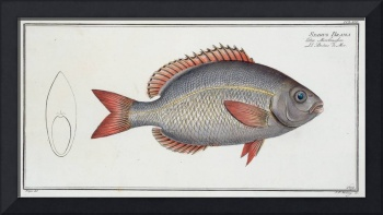 Vintage Sparus Brama Fish Illustration (1785)