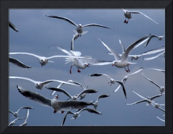 seagulls, competition for feed